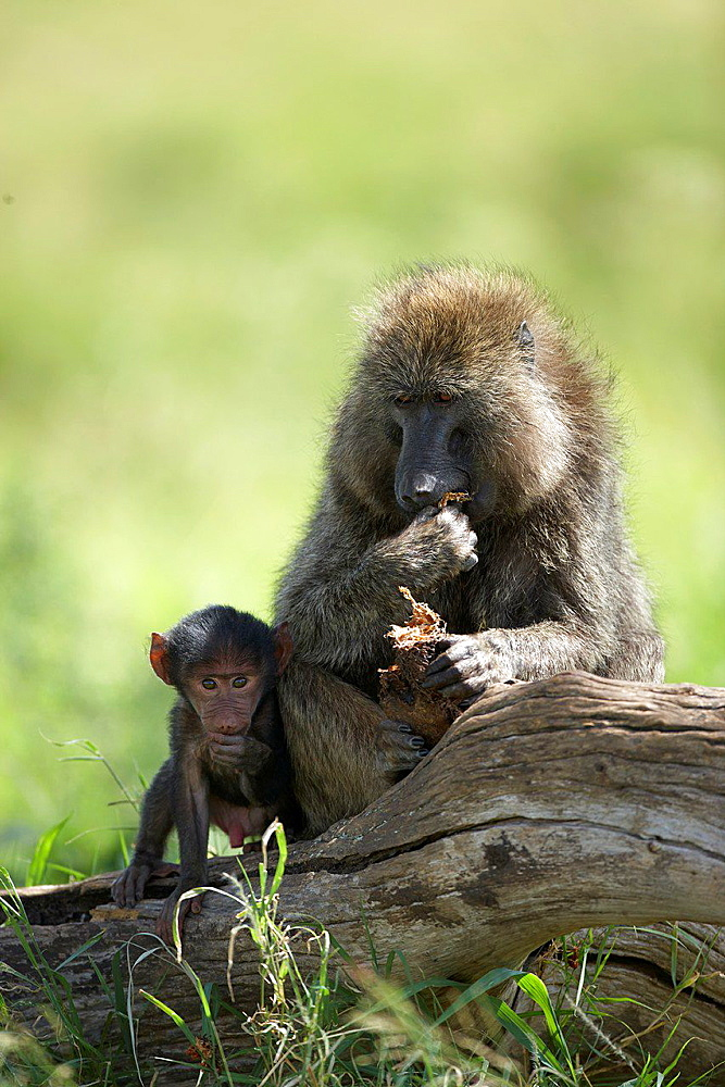 Young and its mother. Baboon. Serengeti. Tanzania.