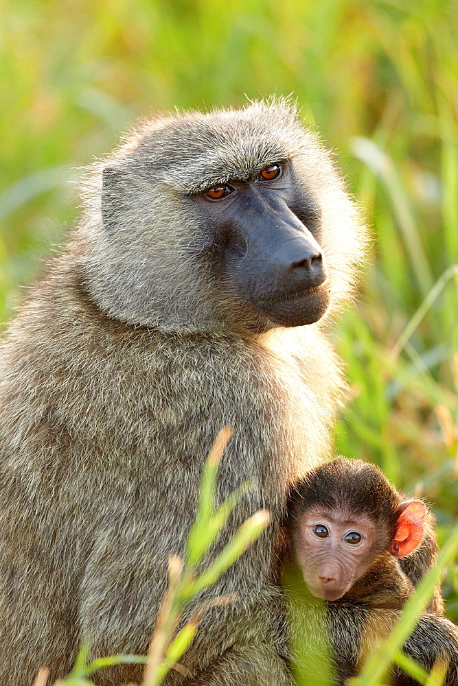 Baby baboon and it's mother. Serengeti. Tanzania.