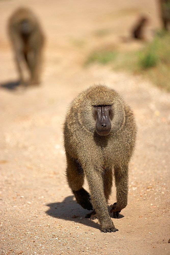 Big male Baboon. Serengeti. Tanzania.