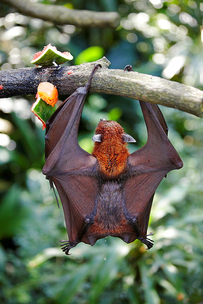 Malayan flying fox urinating, Singapore Zoo. Scientific name: Pteropus vampyrus.