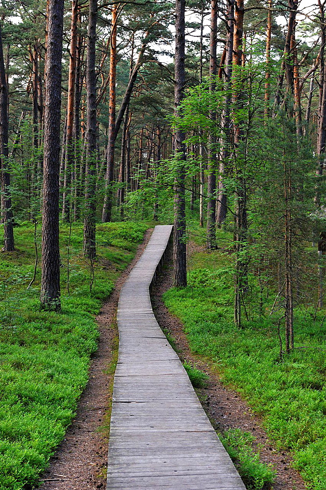 footway through the coastal pine forest in Ragakapa Nature Reserve, Lielupe area, Jurmala, Gulf of Riga, Latvia, Baltic region, Northern Europe.