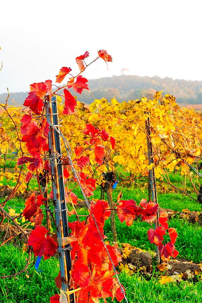 autumn in vine yard, Austria, Burgenland, Northern Burgenland.