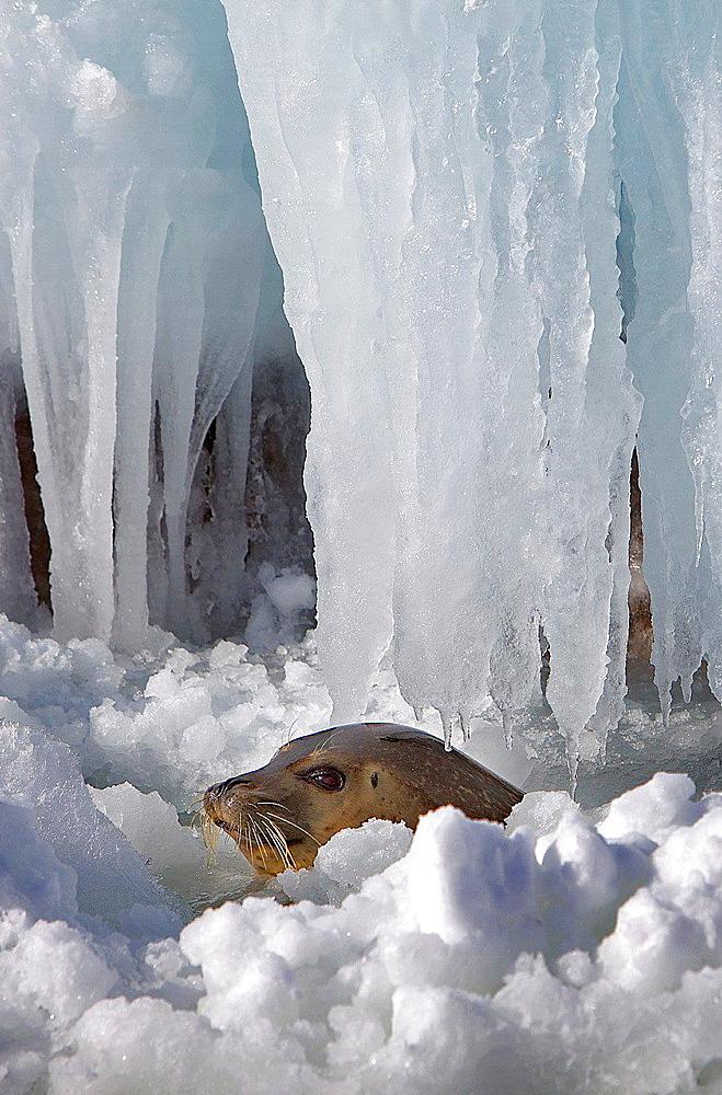 wild seal in Bakkai Port,Wakkanai, Hokkaido, Japan. - 817-456092