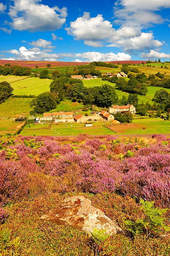 Heather blooming on the Eskdale valley moor. Castleton , Eskdale, North Yorks National Park, North Yorkshire, England.