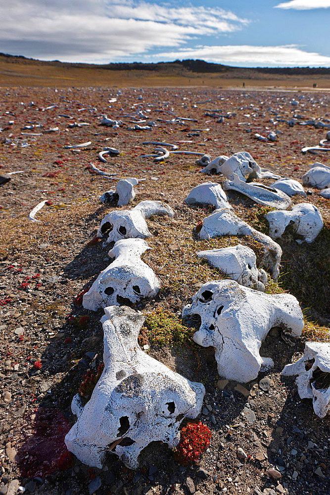 Walrus bones, Dolerittneset.