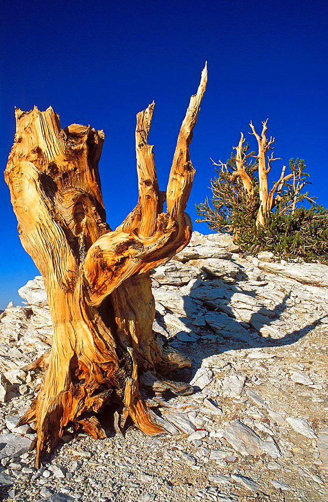 Ancient Bristlecone pines in the Patriarch Grove, Ancient Bristlecone Pine Forest, Inyo National Forest, White Mountains, California USA.
