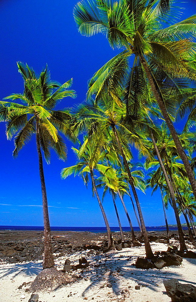 Coconut palms on sand and lava beach at Pu'uhonua O Honaunau National Historic Park, Kona Coast, Hawaii USA.