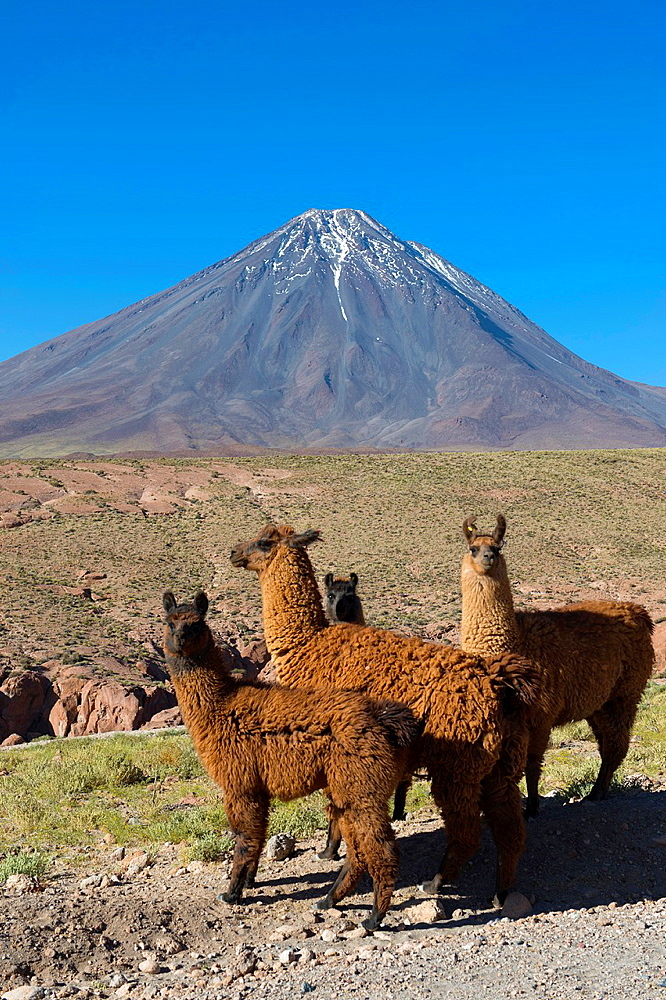 Llamas with Licancabur volcano, 5,920 m (19,423 ft), in background, which is a highly symmetrical stratovolcano on the southernmost part of the border between Chile and Bolivia, near the Jama Pass in the Andes Mountains, Chile.
