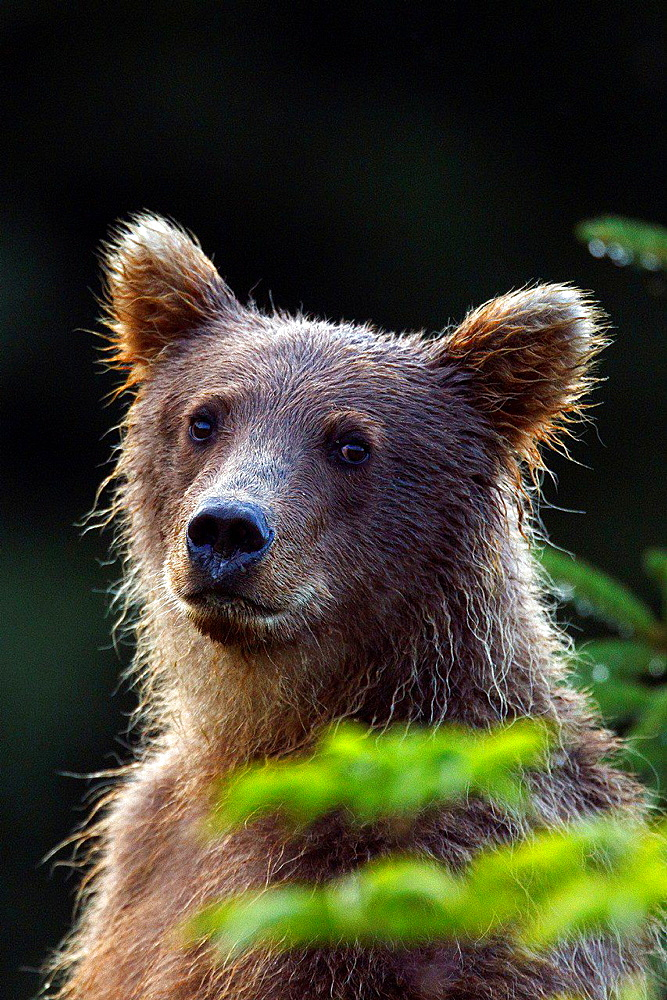 North American brown bear, coastal grizzly bear (Ursus arctos horribilis)cub, Lake Clark National Park, Alaska, United States of America.
