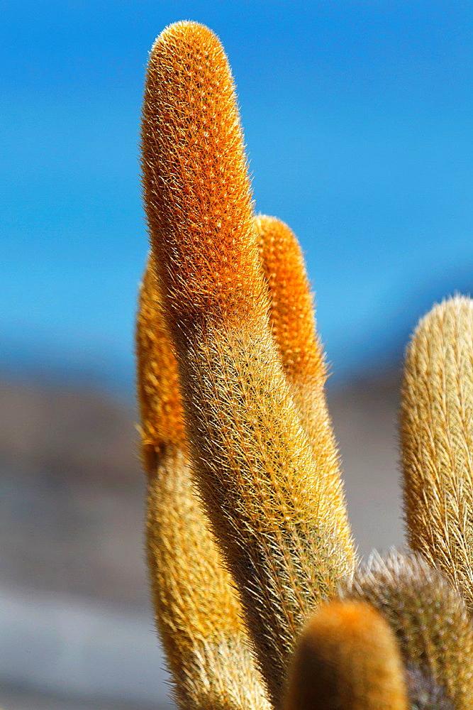 Detailed view of a lava cactus (Brachycereus nesioticus), Galapagos Islands National Park, Bartolome Island, Galapagos, Ecuador.