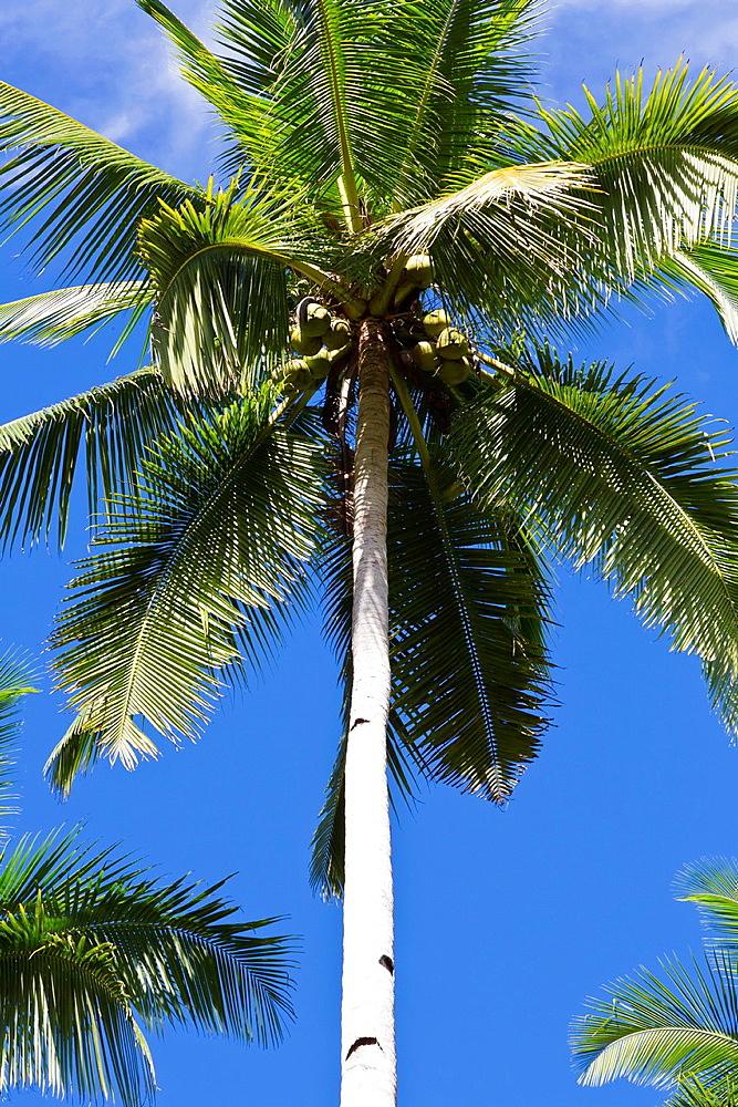 Palm Tree on Bohol Island, Phillipines.