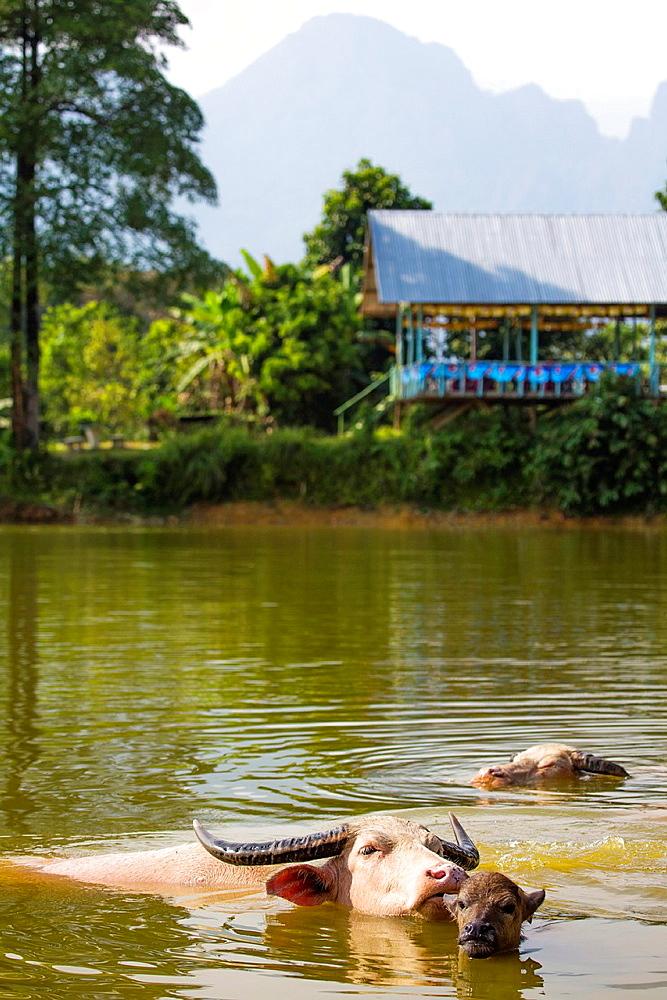 Water Buffalo in a lake near Vang Vieng, Laos.