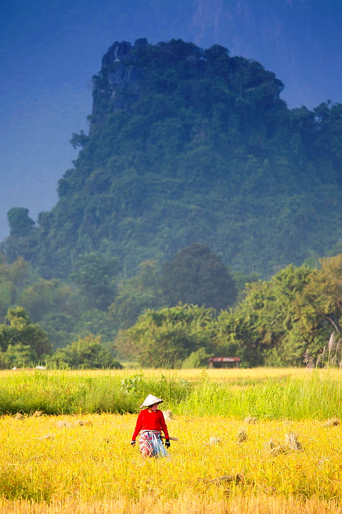 Rice harvest in Vang Vieng, Laos.