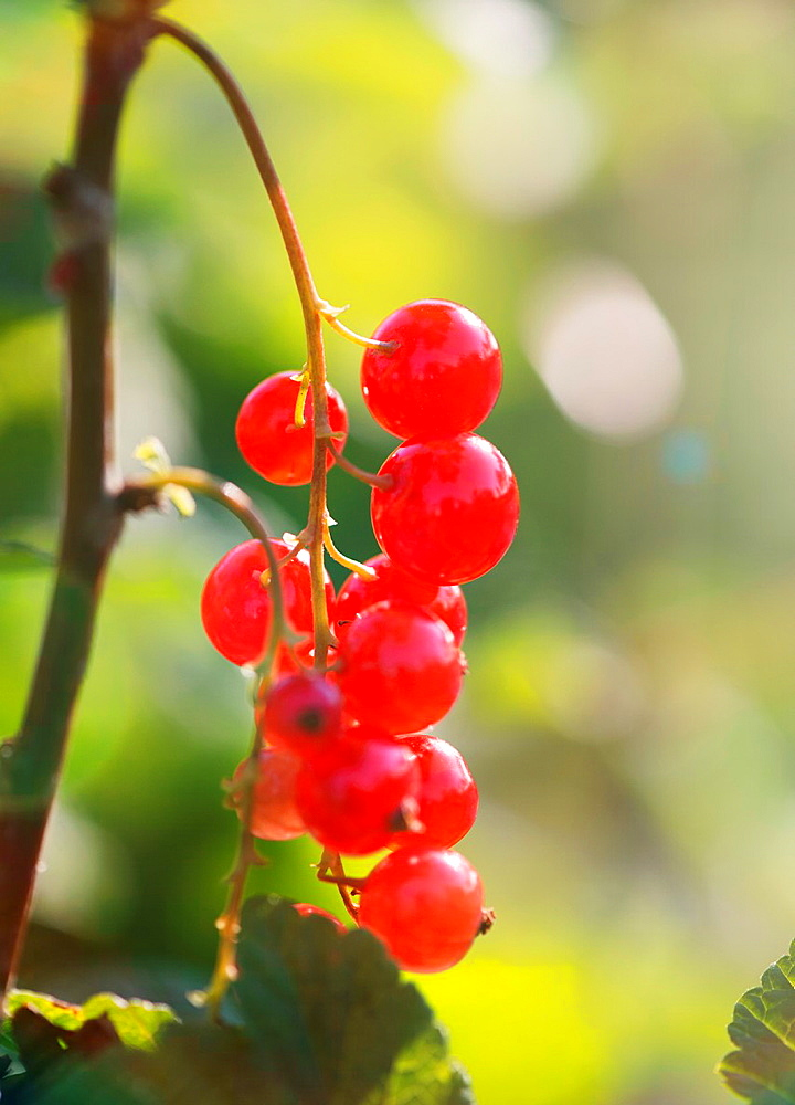 Tranquil summer scene in garden. Bush with ripe redcurrant berries and sunlight.