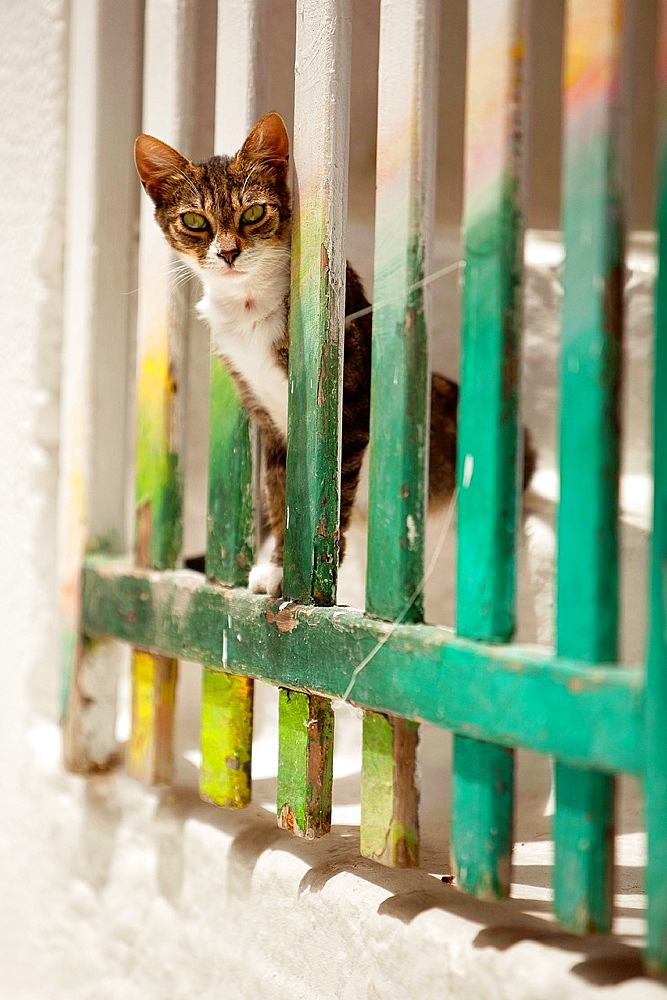Cat at the town center Chora, Ios, Cyclades Islands, Greek Islands, Greece, Europe.