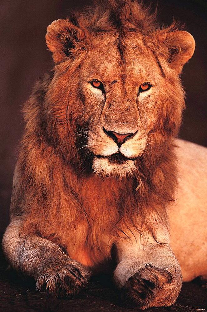 Lion (Panthera leo), Masai Mara Natural Reserve, Kenya - 817-47239