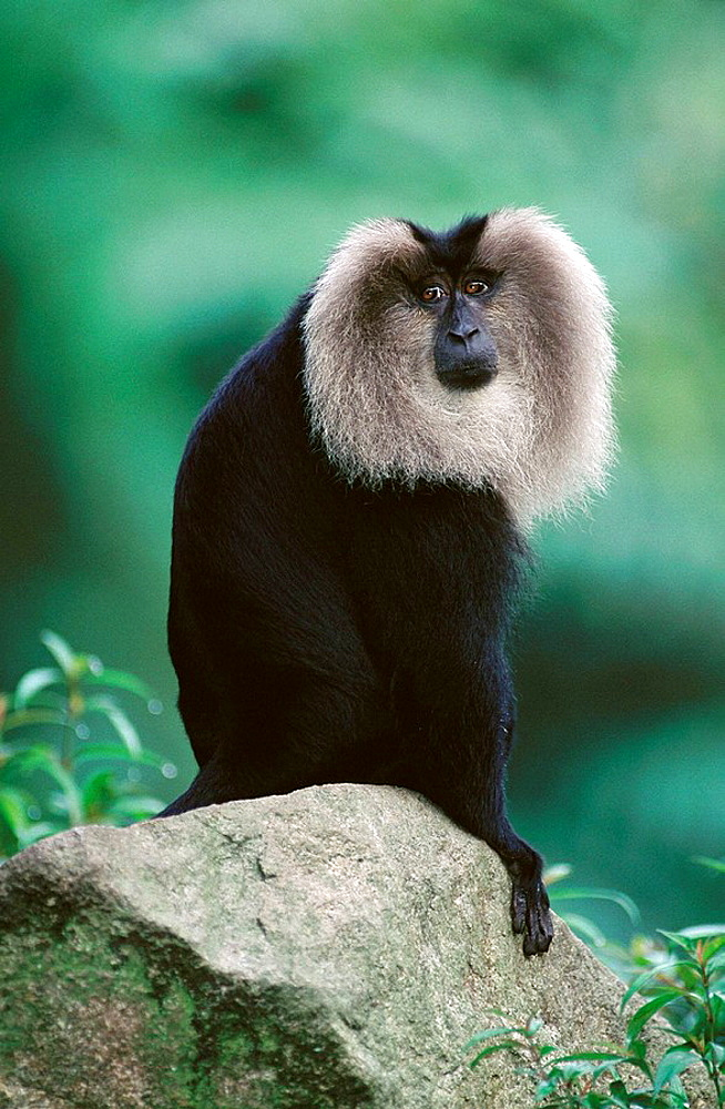 Lion-tailed Macaque (Macaca silenus), South India