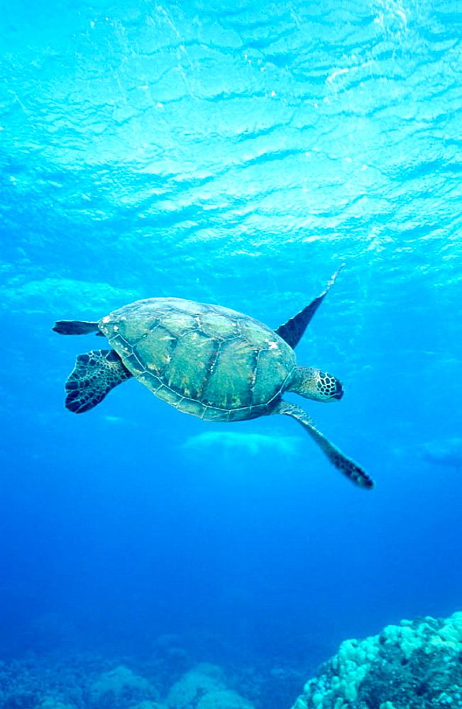 Adult Green Sea Turtle (Chelonia mydas), Olowalu reef, Maui, Hawai, USA