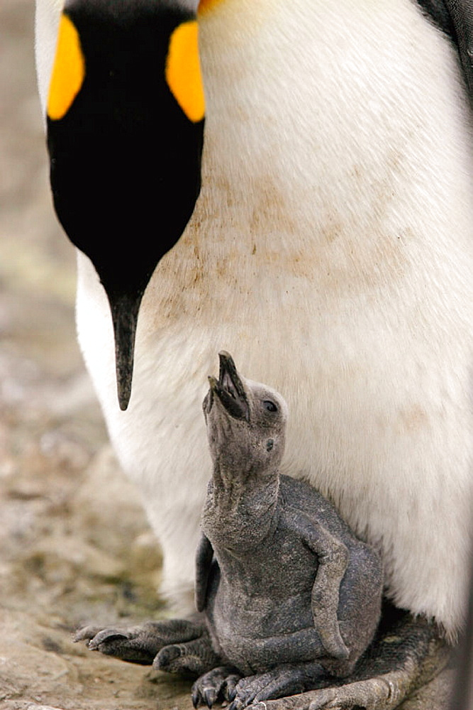 King Penguin (Aptenodytes patagonicus) parent feeding chick on South Georgia Island, southern Atlantic Ocean