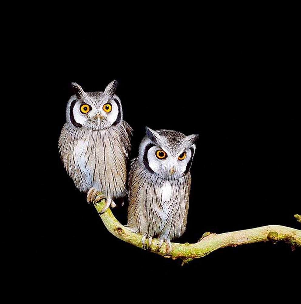 White-faced Owl (Otus leucotis), West Africa