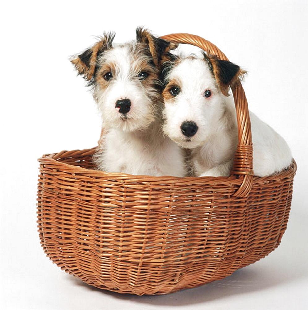 Jack Russell-Lakeland Terrier cross breed puppies