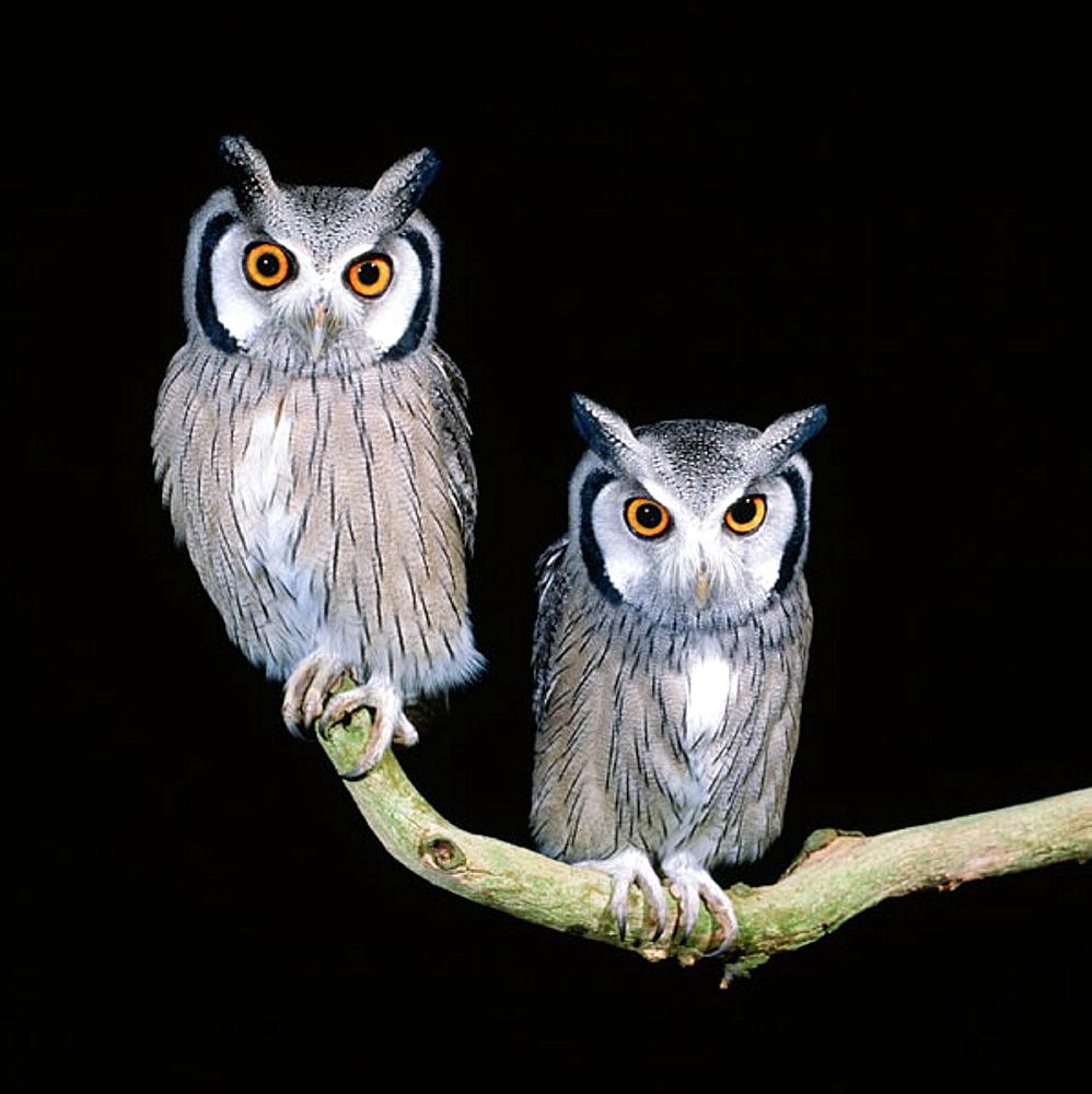 White-faced Scops Owls (Otus leucotis)