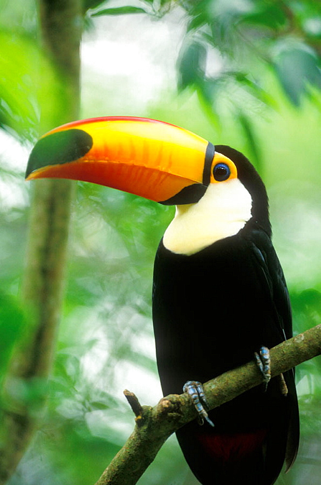 Toco Toucan (Toco toco), Brazilian Amazon - 817-49878