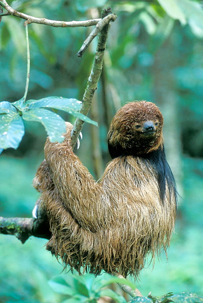 Maned Sloth (Bradypus torquatus), Brazil