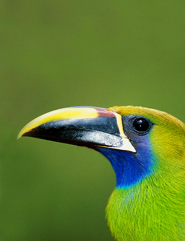 Emerald Toucanet (Aulacorhynchus prasinus), Monteverde Cloud Forest, Costa Rica - 817-49893