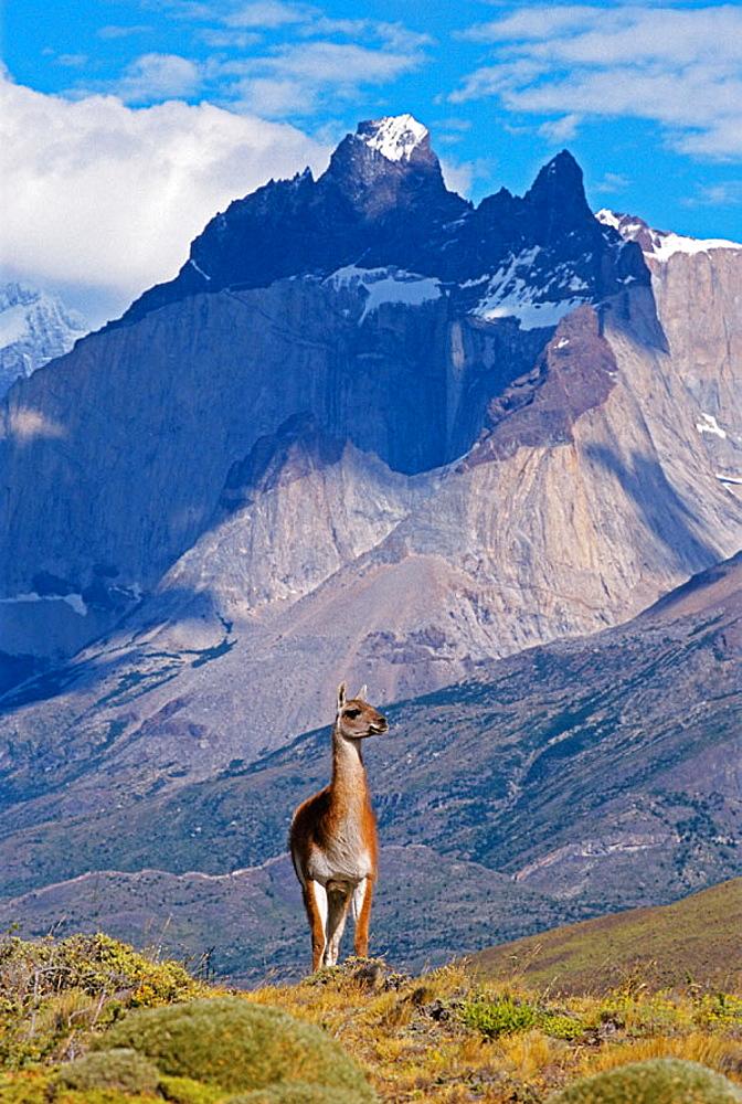 Torres del Paine National Park, Guanaco (Lama guanicoe), Cuernos del Paine peaks behind, Chile, Patagonia.