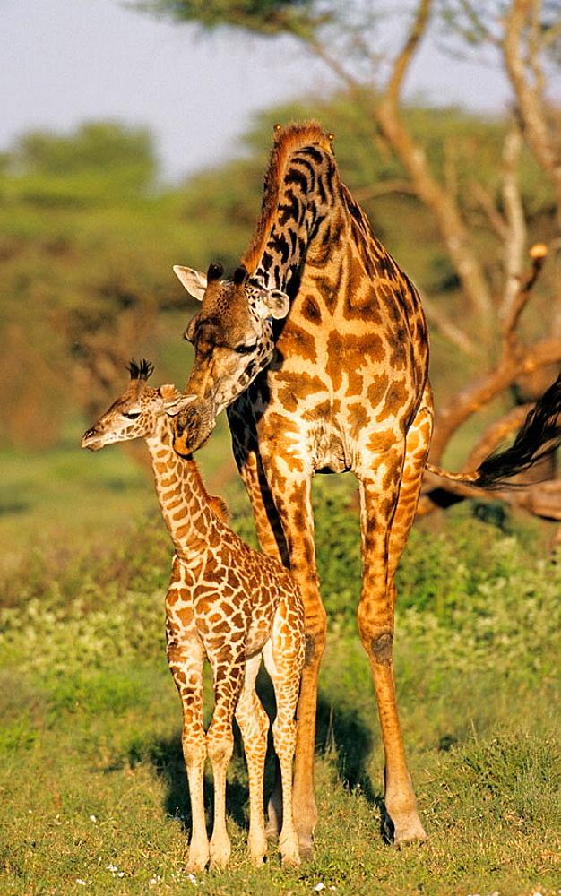 Masai Giraffe (Giraffa camelopardalis), Mother and calf, Serengeti National Park, Tanzania.