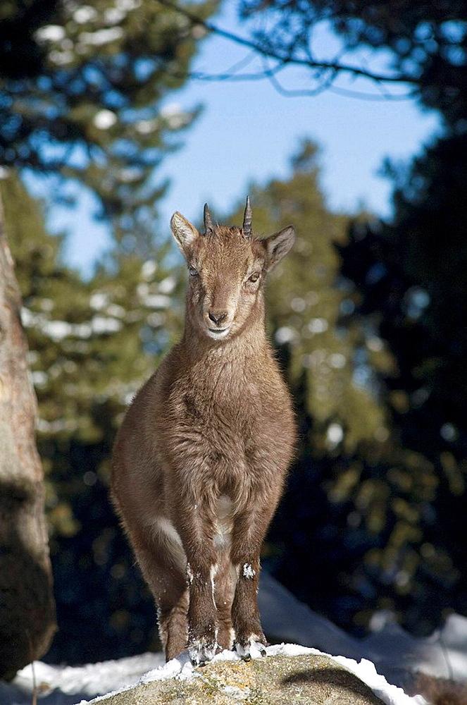 Young Rock Goat (Capra ibex), Alps