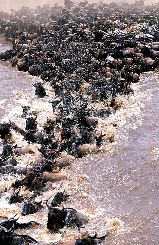 Migrating Wildebeest (Connochaetes taurinus) crossing Mara river, Masai Mara, Kenya