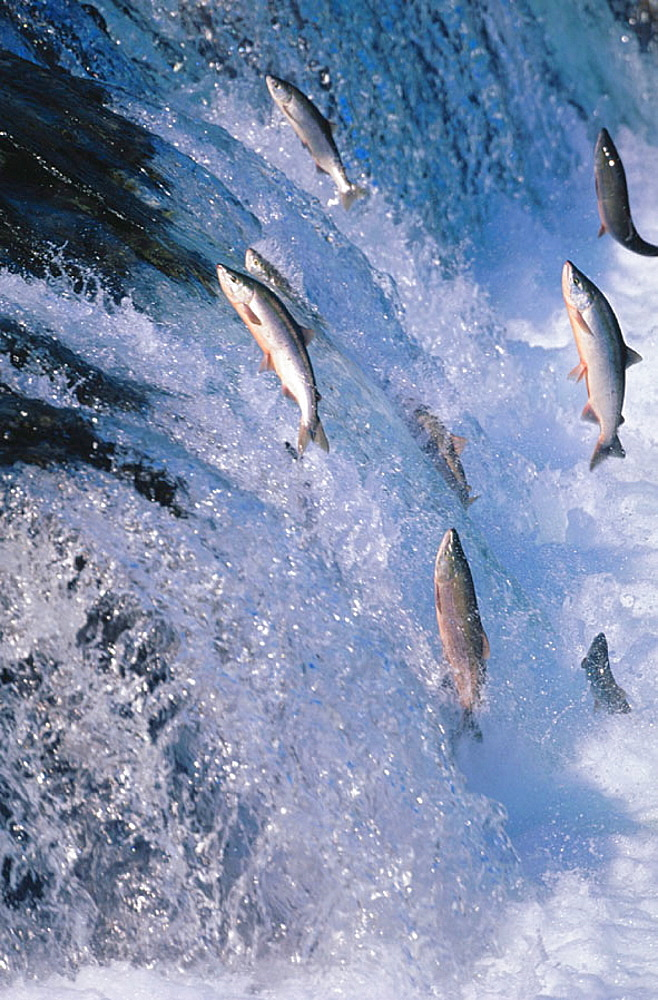 Sockeye Salmon (Oncorhynchus nerka), migration up waterfall Brooks Falls, Katmai National Park, Alaska, USA