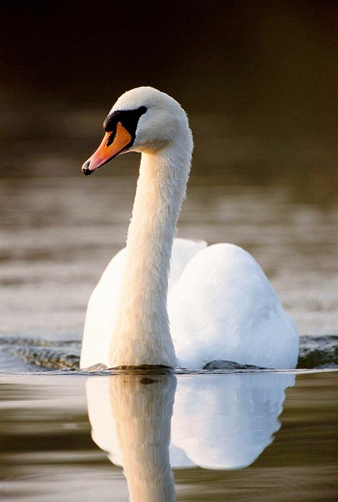 Mute Swan (Cygnus olor), England, UK
