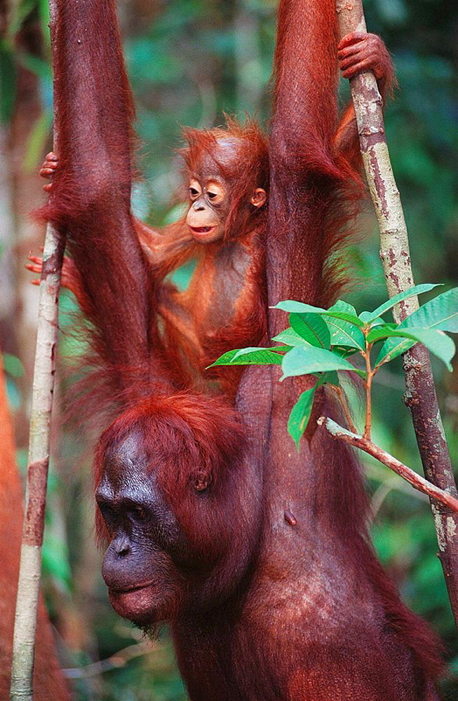 Bornean Orangutan (Pongo pygmaeus) with young on back, Borneo