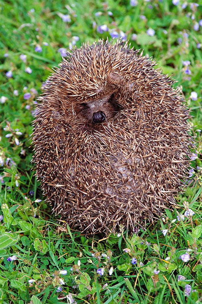 Hedgehog (Erinaceus europaeus), St, Cyrus National Nature Reserve, Scotland, UK