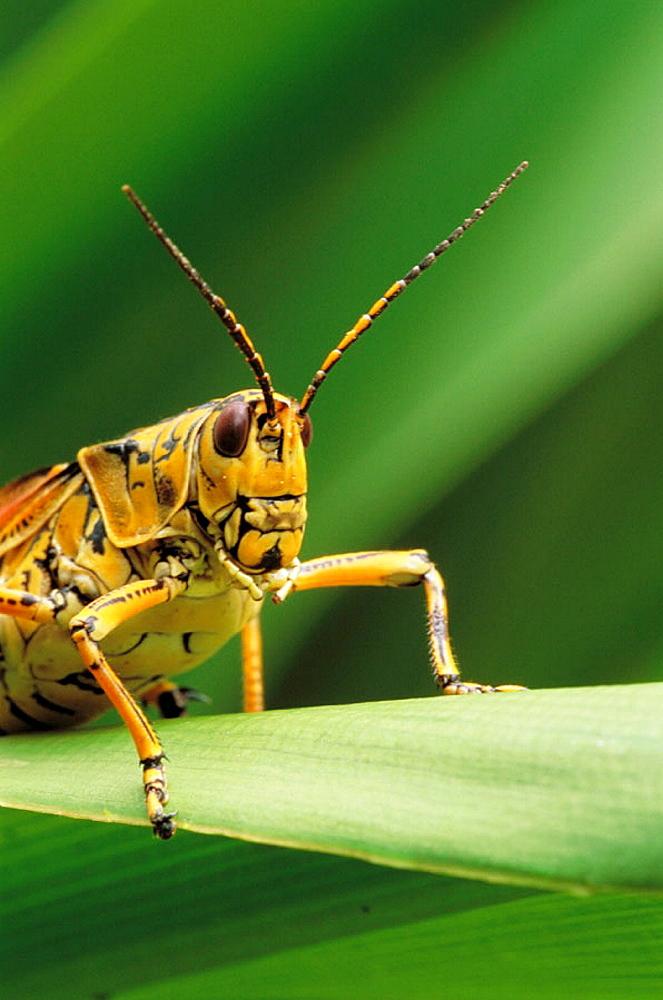 Lubber Grasshopper (Romalea microptera), Florida, USA - 817-7855