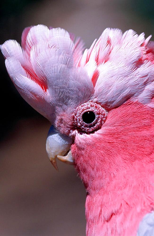 Galah (Cacatua roseicapilla), Australia - 817-7880