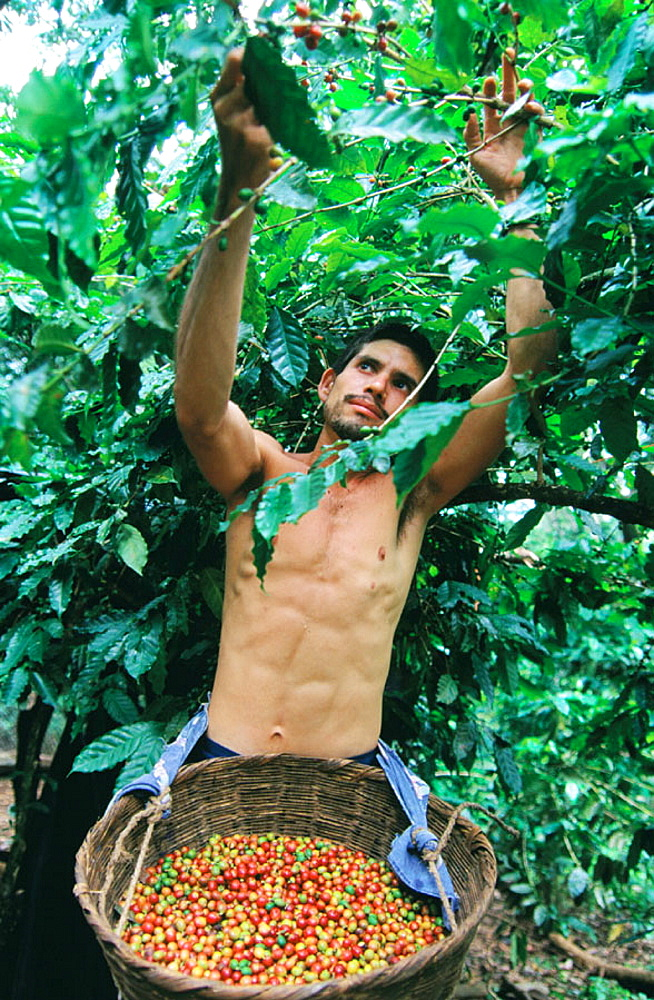 Man harvesting coffee, El Salvador