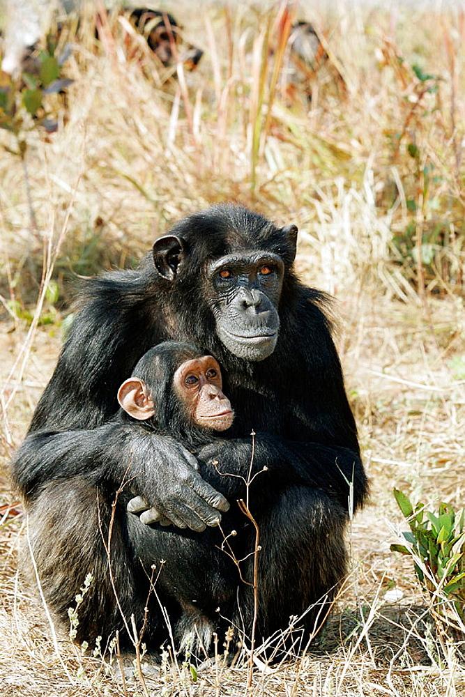 Chimpanzee (Pan troglodytes), Zambia
