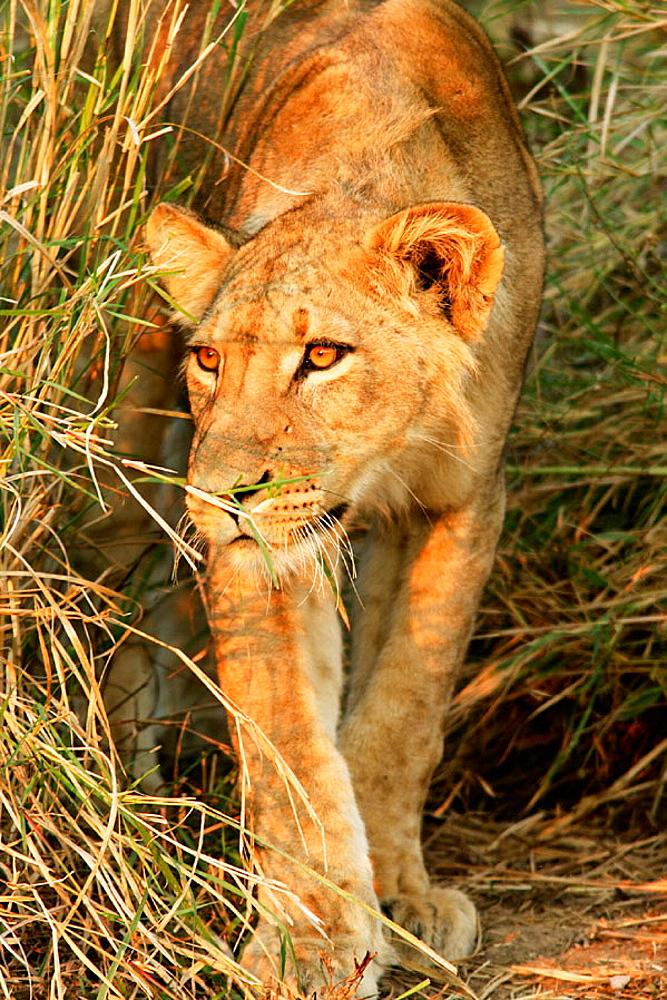 Lion (Panthera leo), South Luangwa National Park, Zambia