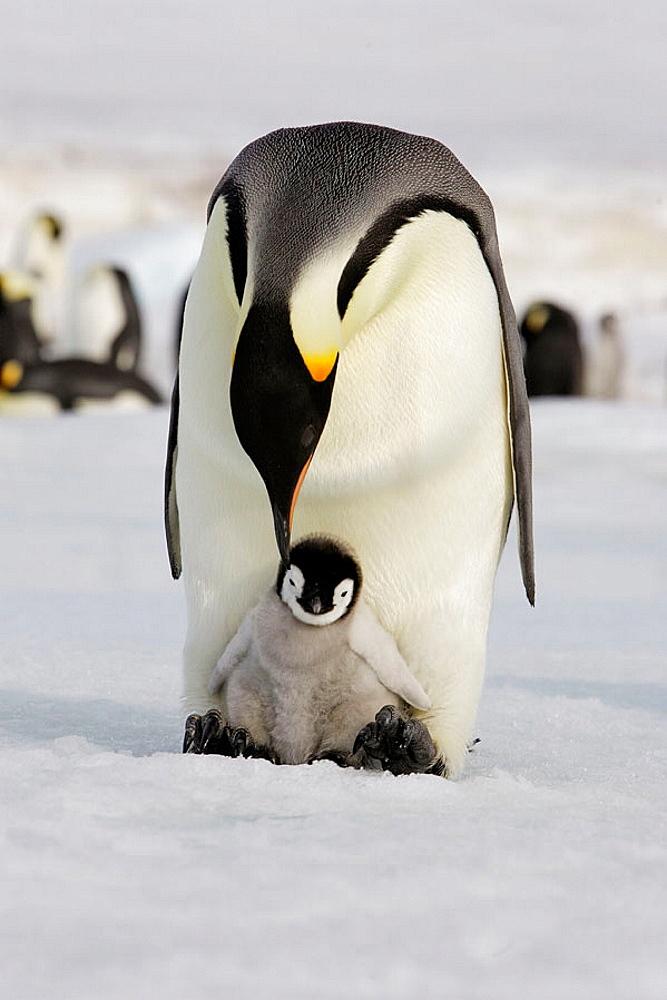 Emperor Penguins (Aptenodytes forsteri), Snow Hill Island, Antarctica