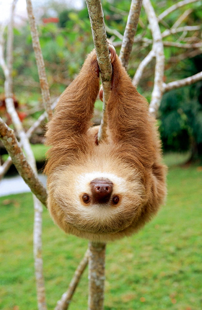 Hoffmanns Two-toed Sloth (Choloepus hoffmanni) - 817-8540