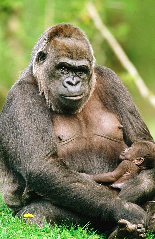 Lowland Gorillas (Gorilla gorilla) - 817-8576
