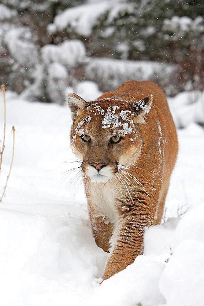 Puma ou cougar Cougar or Mountain Lion Puma concolor Order: Carnivora Family: Felidae