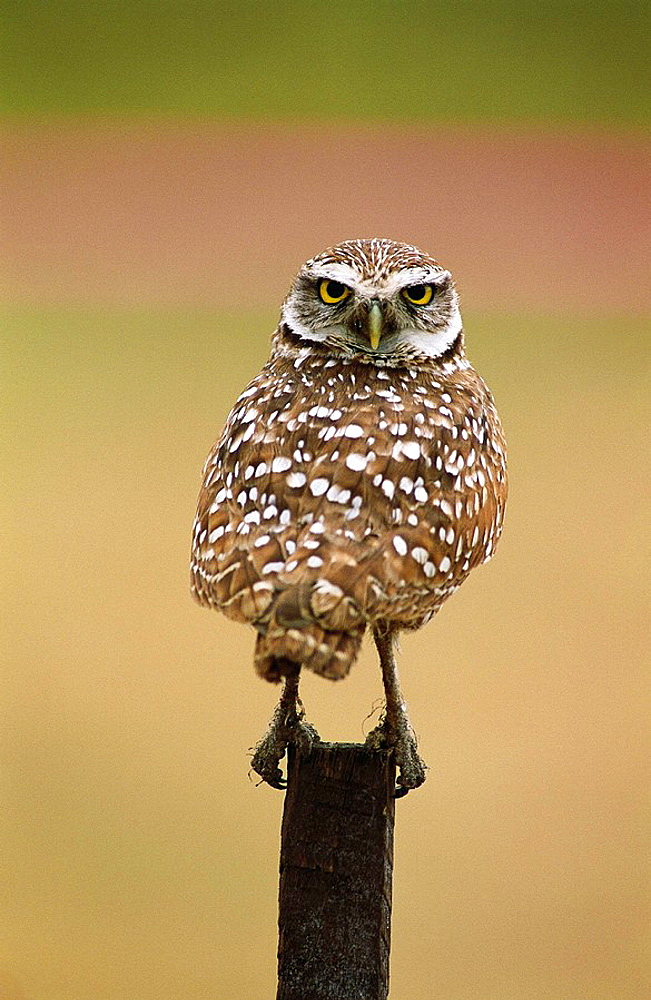 Burrowing Owl (Speotyto cunicularia), male, Florida, USA