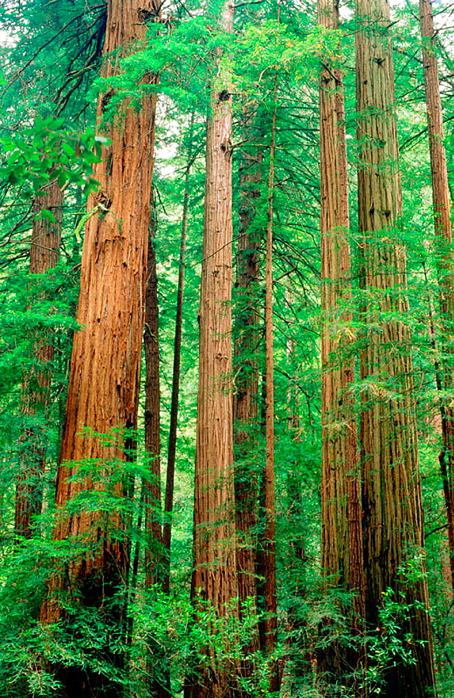 Tall redwood trees in Muir Woods National Monument, Marin County, California, USA