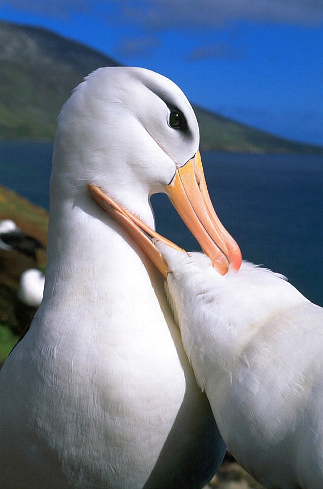 Courting pair of Black-browed Albatross (Diomedea melanophris), Falkland Islands