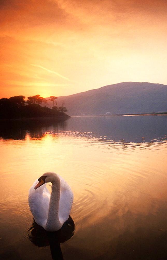 Swan on Dolgellan, Wales, UK
